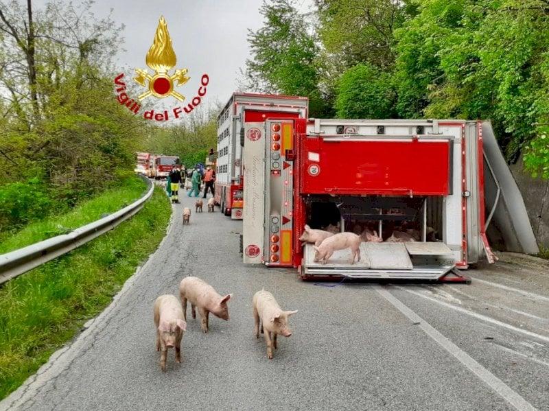Camion che trasporta maiali si ribalta, è la seconda volta in pochi giorni
