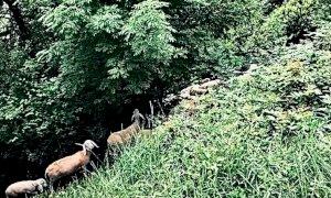 Cuneo, pecore e capre 'volontari per la cura del verde' sulle ripe della città