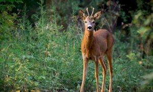 Cuneo, capriolo resta intrappolato in una rete al parco Fluviale: liberato