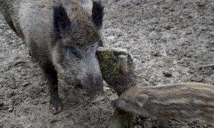 Coldiretti: 'La fauna selvatica provoca 700mila euro di danni ogni anno all'agricoltura cuneese'