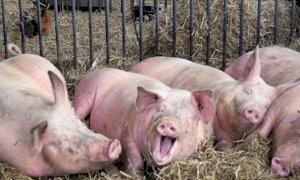 'Scendono le quotazioni all'origine, ma il prezzo della carne suina al consumo è in aumento'