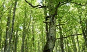 'Regione e Alpi Marittime rivedano le loro scelte sul taglio dei faggi'