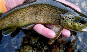 Pescano una quantità di trote superiore al consentito: pescatori sanzionati in valle Stura e valle Varaita