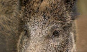 Troppi danni da fauna, Confagricoltura Cuneo chiede interventi alla Provincia