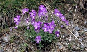 A Valdieri sabato 13 giugno riapre il giardino botanico 'Valderia'