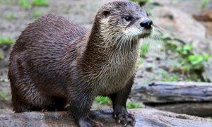 La lontra è tornata sulle Alpi Marittime francesi: un'indagine per verificarne la presenza nelle valli cuneesi