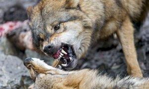 'La Regione deve ridisegnare il sistema di rimborso danni per gli attacchi dei lupi'