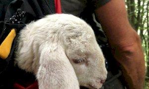 I vigili del fuoco salvano un agnello disperso nel comune di San Damiano Macra