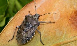 Anche quest'anno in Piemonte la vespa samurai 'in campo' contro la cimice asiatica
