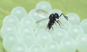 Lotta alla cimice asiatica, la vespa samurai in campo nell'Albese