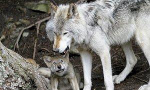 'Non si spara al lupo. La Regione promuova progetti di prevenzione e velocizzi i risarcimenti'
