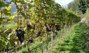 """Confagricoltura: """"Il Piemonte potrà valorizzare i vini di montagna, di cui la nostra regione è ricca"""""""
