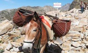 Nel Parco Alpi Marittime rifornimenti ai rifugi con i muli al posto dell'elicottero