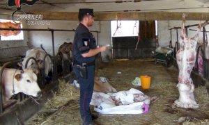 Macellazione abusiva e maltrattamento di animali, denunciati in due