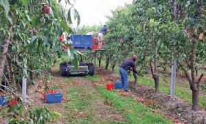 'Irregolarità in meno dell'1% delle aziende della frutta: il distretto cuneese è virtuoso'