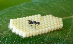 Contro l'invasione delle cimici le aziende agricole sperimentano il rilascio di un insetto antagonista