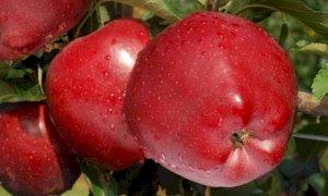 Al via la raccolta delle mele: in Piemonte la produzione cresce del 13% con 225 milioni di chili