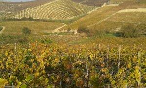 'Carenza di stagionali e governo incapace: è in gioco il primato dell'Italia nella produzione di vino'