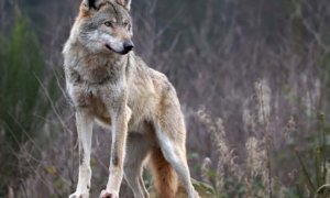 'Sempre più attacchi alle greggi da parte dei lupi: servono soluzioni urgenti'