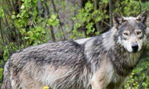 'Senza sosta le incursioni degli animali selvatici, preoccupazione per allevamenti e abitanti'