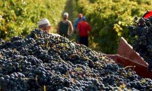 Vendemmia 2020, Coldiretti Cuneo: 'Avvisaglie di un'ottima annata'