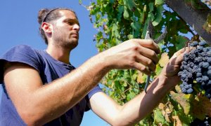 Cantina Clavesana, al via la vendemmia nelle vigne dei 200 soci