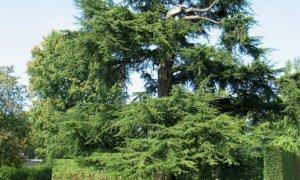 Bra, due alberi a rischio caduta: disposti l'abbattimento e la successiva ripiantumazione