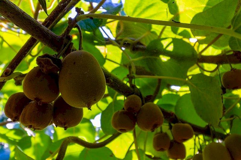 Agricoltura, Bergesio-Gastaldi (Lega): 'Il Piemonte tra i primi produttori di kiwi, ignorato dal ministero'