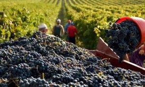 Vendemmia: uve sane, qualità ottima, ma quantità inferiore alle previsioni di un mese fa