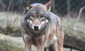 E' online il nuovo sito del progetto 'Life Wolfalps'