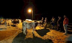 Partito da Casterino, un gruppo di margari è arrivato in valle Vermenagna con 150 mucche (FOTO E VIDEO)