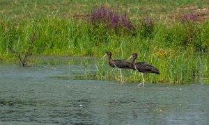 Le cicogne nere nidificano a Racconigi, nel parco del castello: è la prima volta nella pianura italiana
