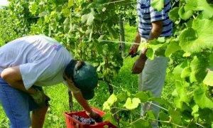 Vendemmia, irregolarità sul lavoro nel 67% delle aziende agricole controllate