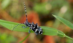 A Cerialdo saranno abbattute alcune piante colpite dal tarlo asiatico