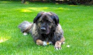 È ai domiciliari ma i carabinieri non lo trovano in casa: 'Portavo il cane a fare i bisogni'