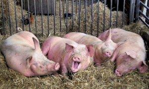 Crisi Covid, ''Bene gli aiuti per allevamenti bovini e suinicoli''