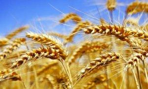 Coldiretti Cuneo: ''Boom di grano dal Canada, stop alla concorrenza sleale''