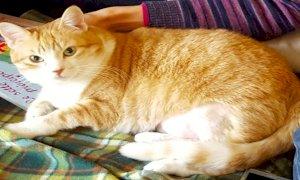 Smarrita una gatta a Cuneo, i proprietari chiedono aiuto