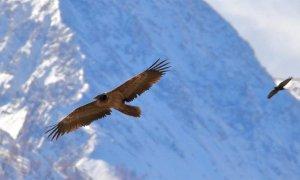 Una nuova rivista online sulla presenza degli avvoltoi in Piemonte