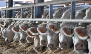 Bovini da carne, Coldiretti Cuneo: ''Indispensabile che la Regione sostenga tutti gli allevatori in crisi''