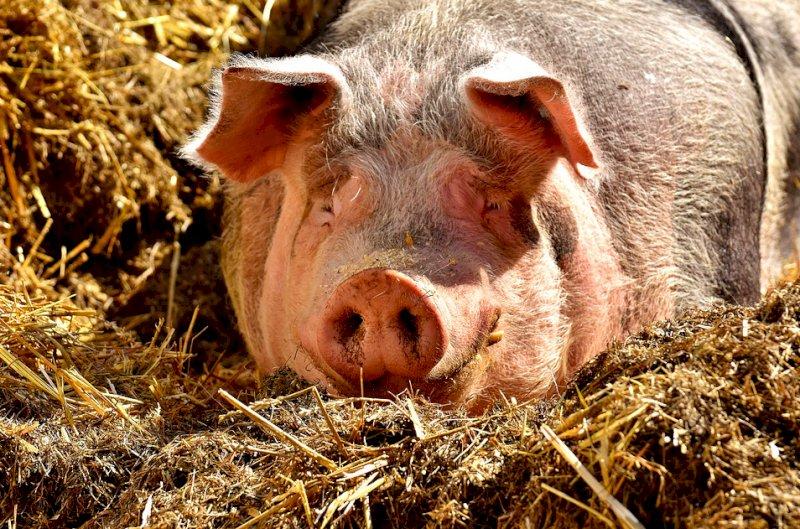 Allarme export, Coldiretti Cuneo: ''Grave stop della Cina alla carne suina made in Italy''