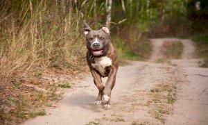 Pitbull azzannò un cagnolino al Parco Fluviale di Cuneo, la padrona finisce in tribunale