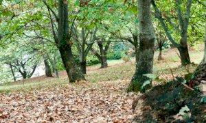 Cia Cuneo: ''Chiediamo risorse per recuperare i vecchi castagneti''