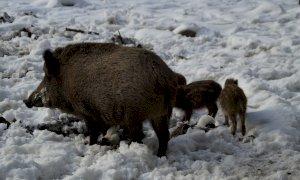 Fauna selvatica, nel 2020 oltre 5mila segnalazioni di danni all'agricoltura in tutto il Piemonte