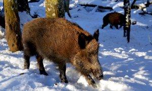 ''Troppi danni da fauna selvatica, gli agricoltori sono esasperati''