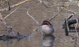 Parco del Monviso, tra gli uccelli la specie più numerosa è il Germano reale