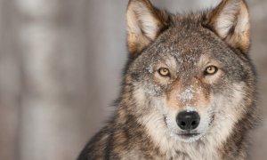 Coldiretti Piemonte, lupi: ''Servono urgenti e concrete azioni di contenimento''