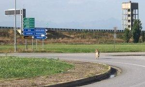 Lupi, l'allarme della Lega: ''In provincia di Cuneo i branchi si sono moltiplicati a dismisura''