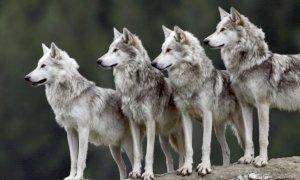 ''Il problema della proliferazione dei lupi è sottovalutato delle istituzioni''