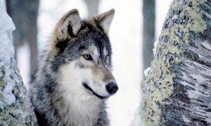 ''No all'area per la protezione del lupo nel Vallone dell'Arma, sono gli allevamenti che vanno difesi''